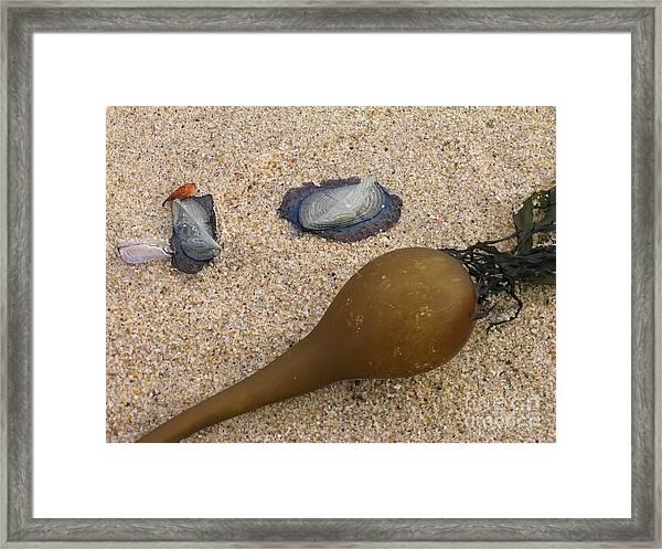 Kelp Float And Velella Framed Print
