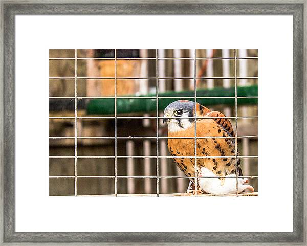 Kestrel And A Headless Mouse Framed Print