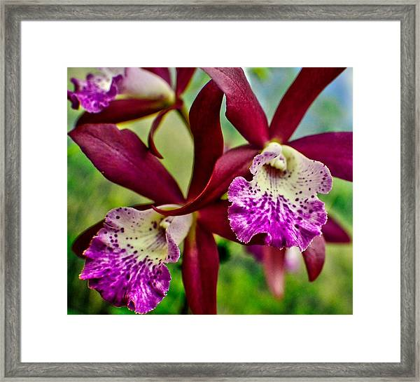 Kimball Orchids Framed Print