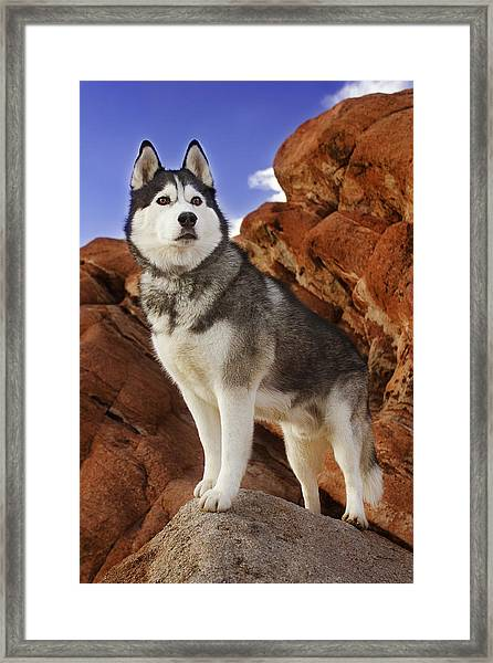 King Of The Huskies Framed Print