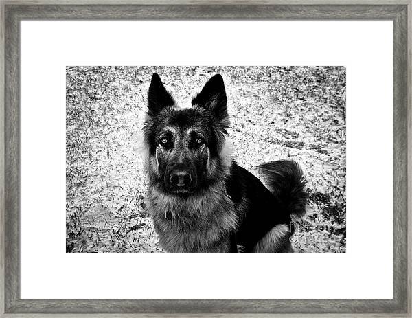 King Shepherd Dog - Monochrome  Framed Print