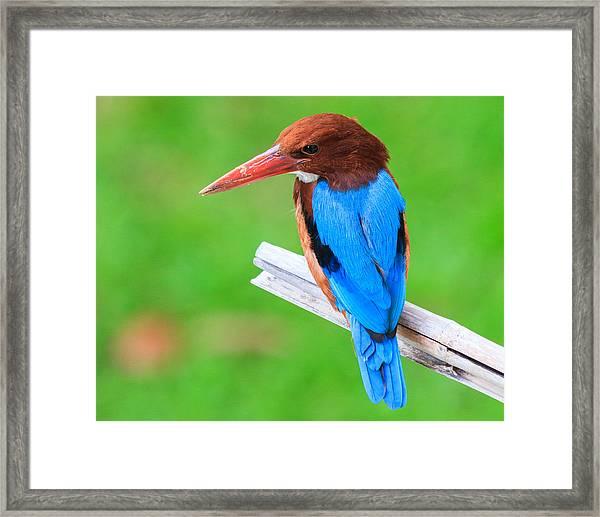 Kingfisher Framed Print