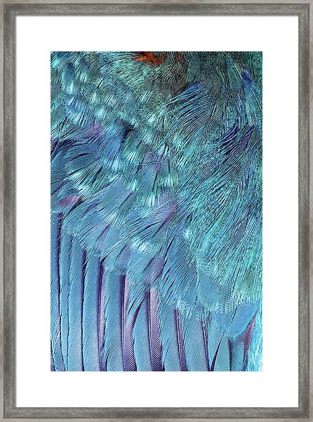 Kingfisher Wing Feathers Framed Print by John Devries/science Photo Library