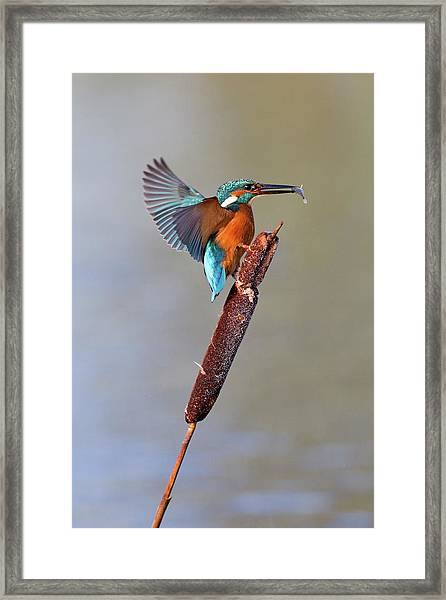 Kingfisher With Fish Framed Print by John Devries/science Photo Library