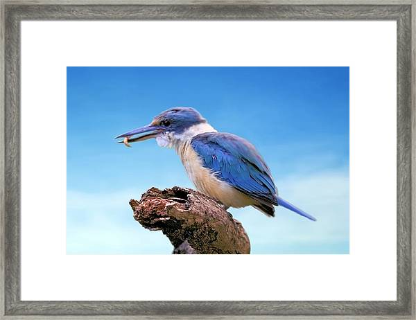 Kingfisher With Grub Framed Print