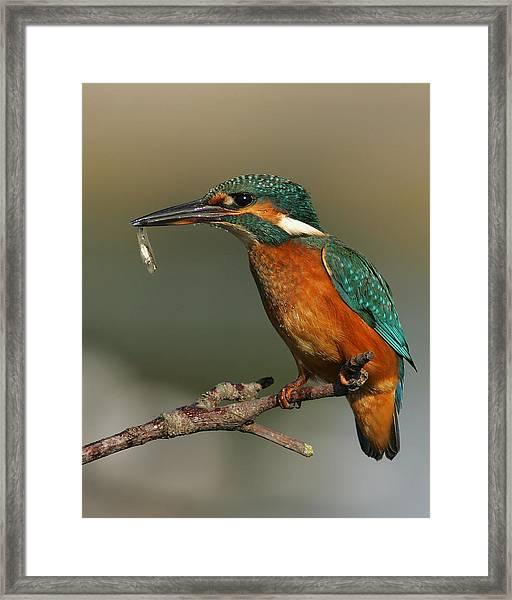 Kingfisher2 Framed Print