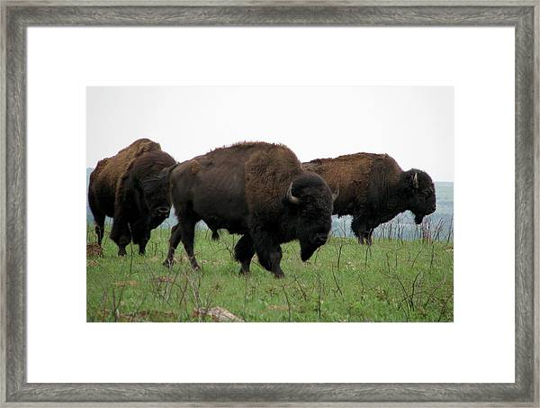 Kings Of The Prairie Framed Print