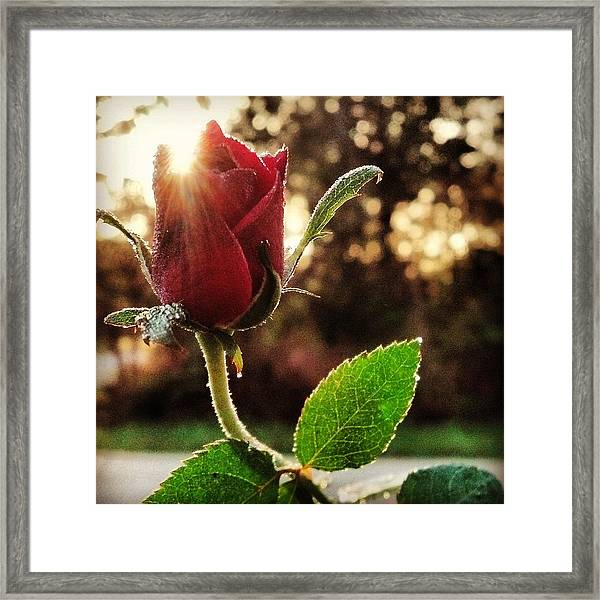 Kiss Of The Ross Framed Print
