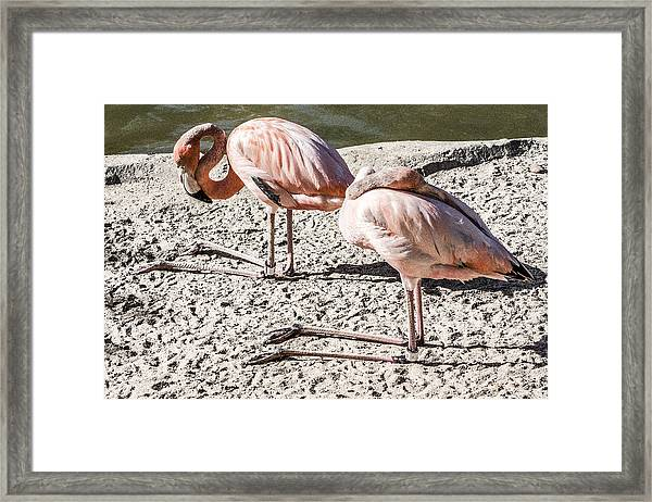 Kneeling Flamingos Framed Print