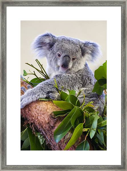 Koala On Top Of A Tree Framed Print