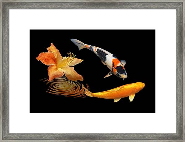 Koi With Azalea Ripples Framed Print