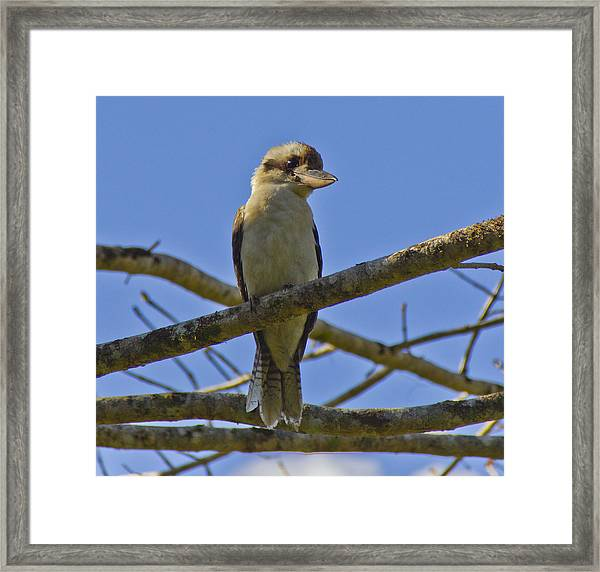 Framed Print featuring the photograph Kookaburra by Debbie Cundy