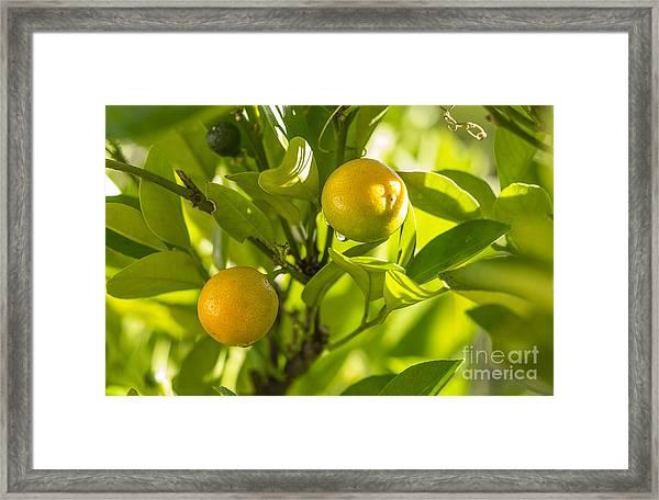 Kumquats Framed Print
