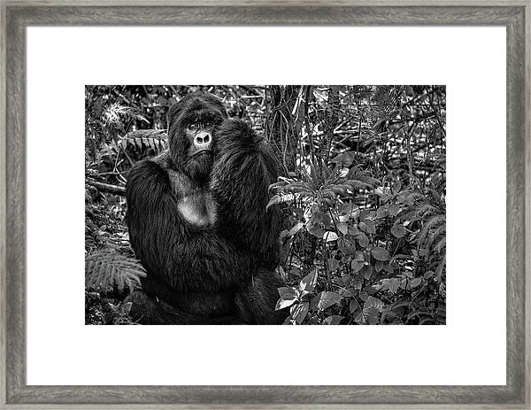 Kwitonda Silverback Framed Print