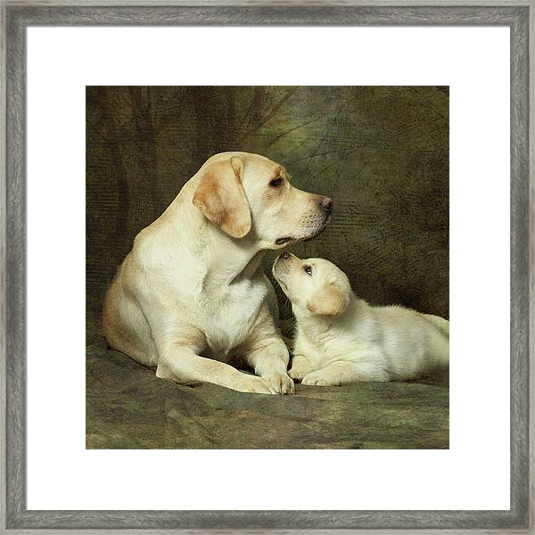 Labrador Dog Breed With Her Puppy Framed Print by Sergey Ryumin