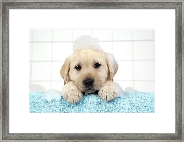 Labrador Puppy In Bath Framed Print
