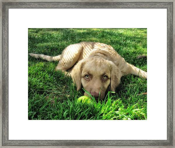 Labrador Puppy Framed Print by Larry Marshall