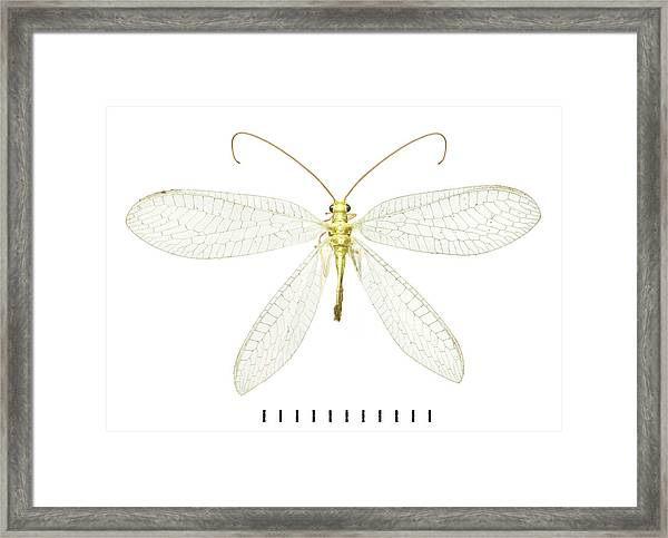 Lacewing Framed Print by Natural History Museum, London