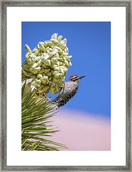 Ladder-backed Woodpecker Feeding Framed Print