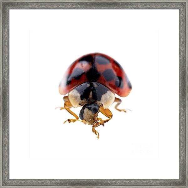 Ladybird Macro Framed Print