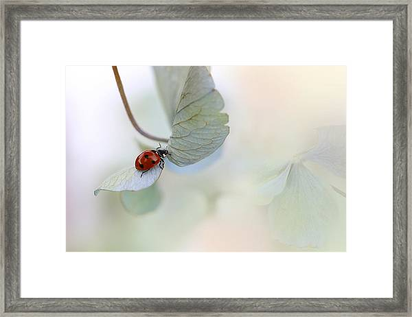 Ladybird On Blue-green Hydrangea Framed Print