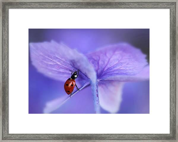 Ladybird On Purple Hydrangea Framed Print