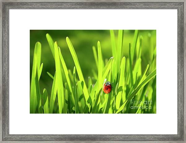 Ladybug In Grass Framed Print