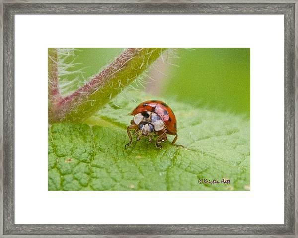 Ladybug On Boneset Leaf Framed Print