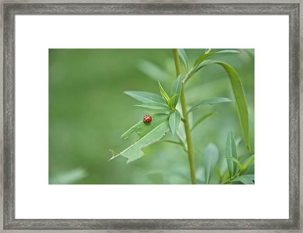 Ladybug On The Move Framed Print