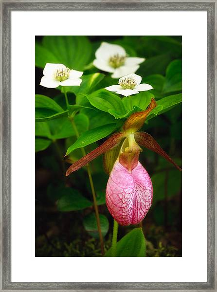 Ladys Slipper And Bunchberry Framed Print