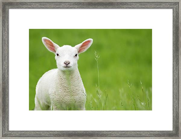 Lamb In A Meadow Framed Print by Robas