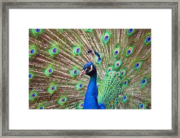 Landscape Peacock Framed Print