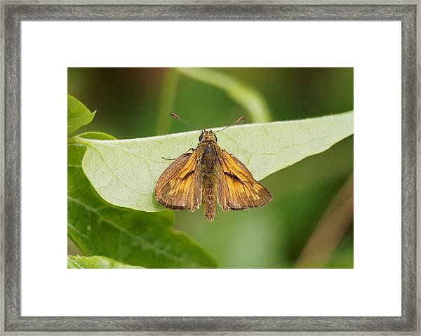 Large Skipper Butterfly Framed Print