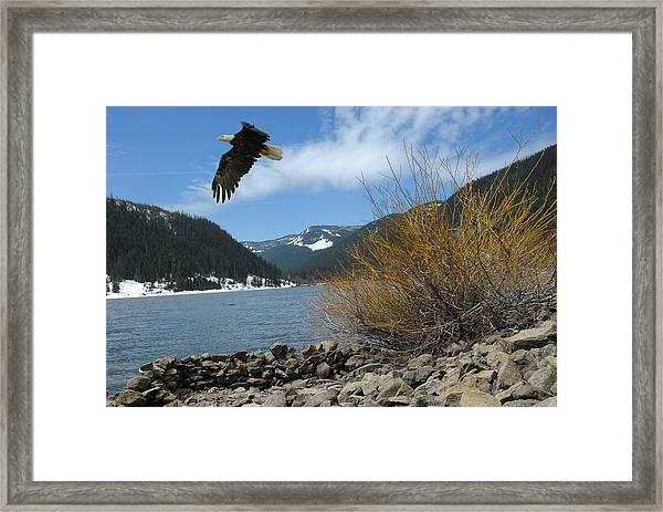 Laurance Eagle Framed Print