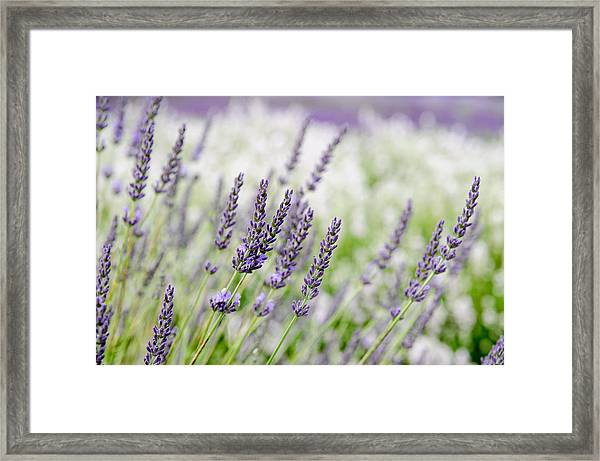 Lavender 3 Framed Print