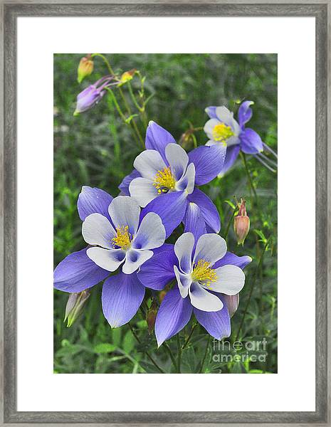 Framed Print featuring the digital art Lavender And White Star Flowers by Mae Wertz