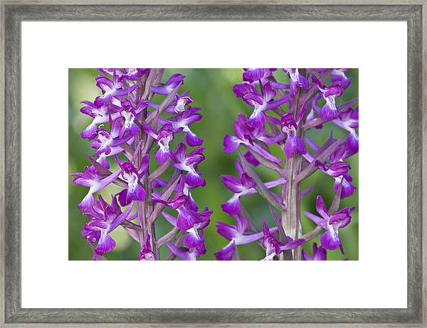 Lax-flowered Orchid Framed Print