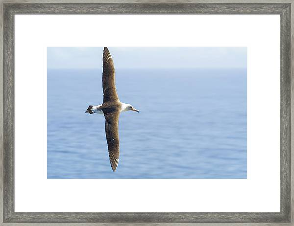 Laysan Albatross No 1 - Kilauea - Kauai - Hawaii Framed Print