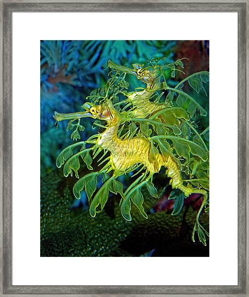 Leafy Sea Dragons Framed Print