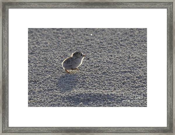 Least Tern Chick Framed Print