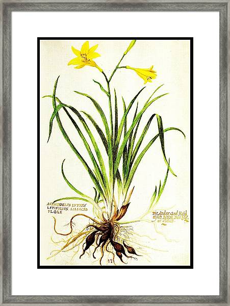 Lemon Daylily Botanical Framed Print