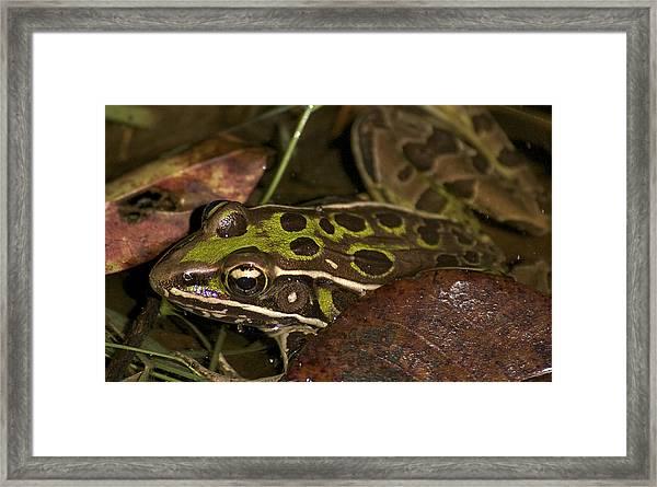 Leopard Frog Framed Print