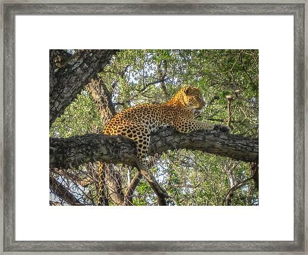Leopard In A Tree Framed Print
