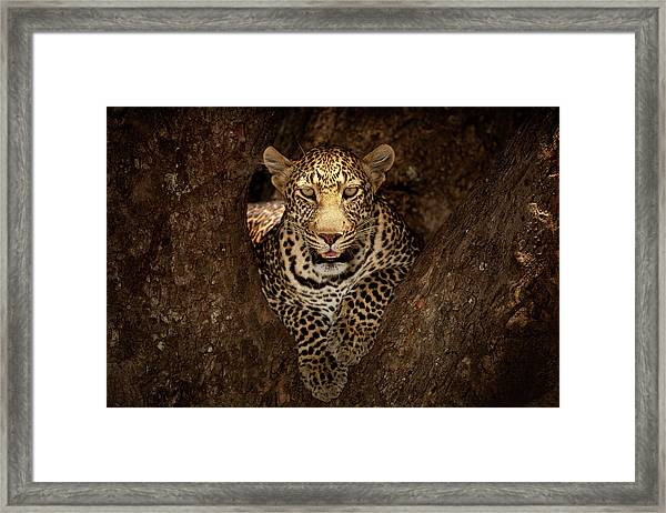 Leopard Resting On A Tree At Masai Mara Framed Print by Ozkan Ozmen Photography