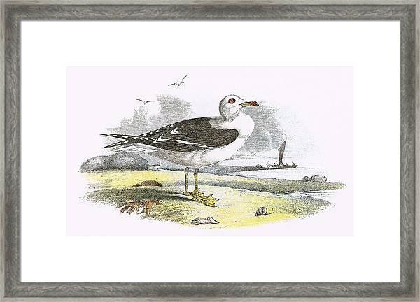 Lesser Black Backed Gull Framed Print