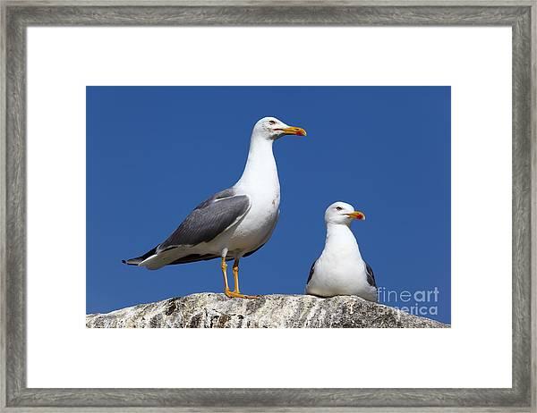 Lesser Black-backed Gulls Framed Print