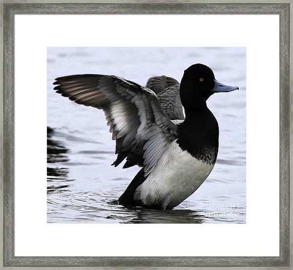 Lesser Scaup Duck  Framed Print