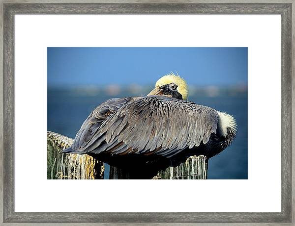 Let Sleeping Pelicans Lie Framed Print