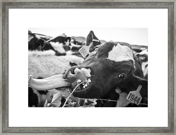 Framed Print featuring the photograph Licking The Picture Frame by Priya Ghose