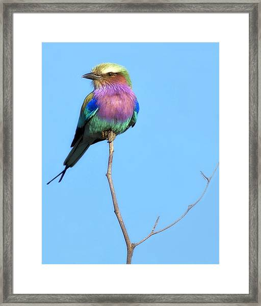 Framed Print featuring the photograph Lilac-breasted Roller I by Gigi Ebert